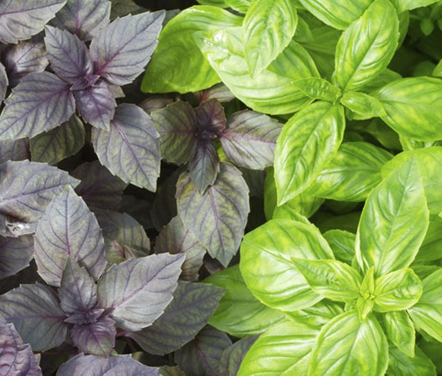 red & green basil