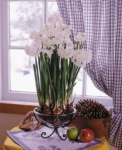 Paperwhite Narcissus Paperwhite Ziva in bloom