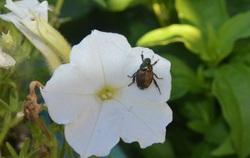 Using Eggshells On Japanese Beetles