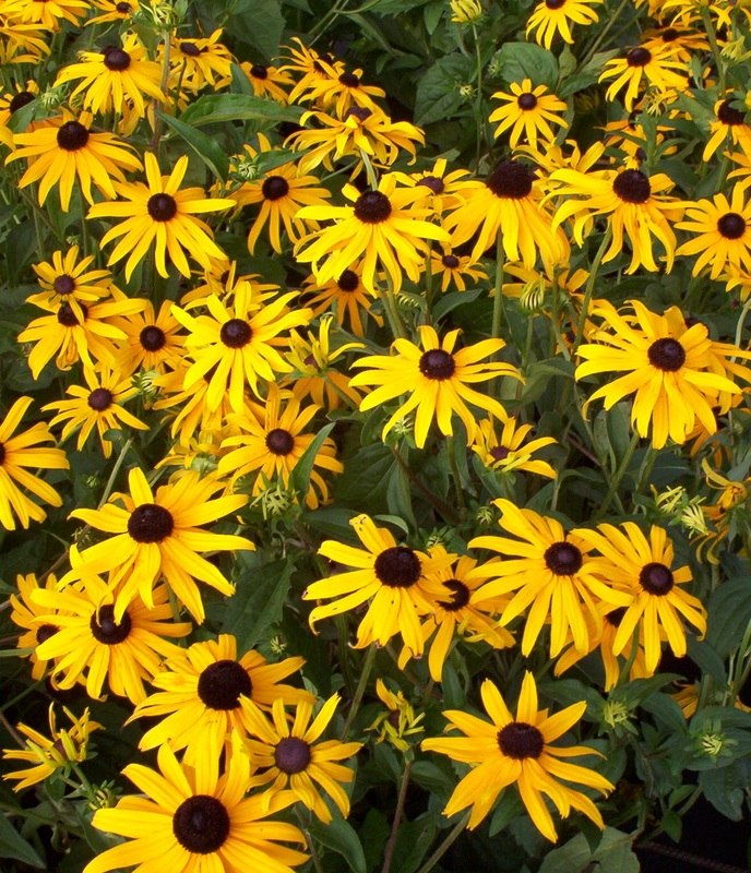 Rudbeckia Goldsturm or black-eyed Susan