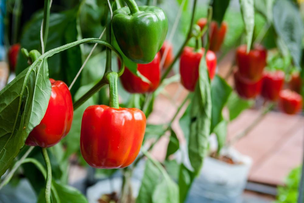 Forbidden fruit – stealing produce from the neighbors garden!
