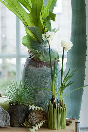 Growing fragrant paperwhites indoors