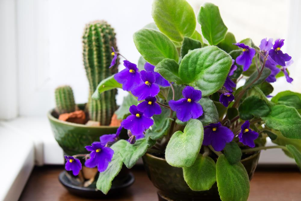 Purple African violets sitting next to a cactus next to a bright window.