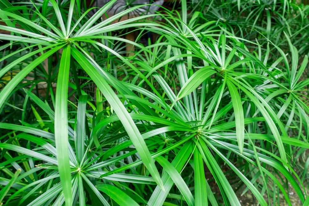 Bamboo palm or lady palm