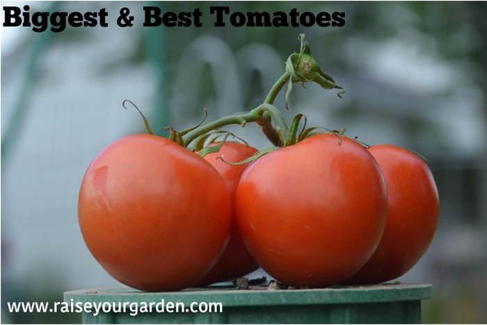 Biggest & best tomatoes using fish heads, aspirin & water tubes