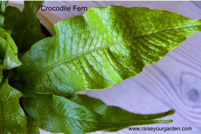 crocodile fern (Microsorium musifolium 'Crocydyllus')