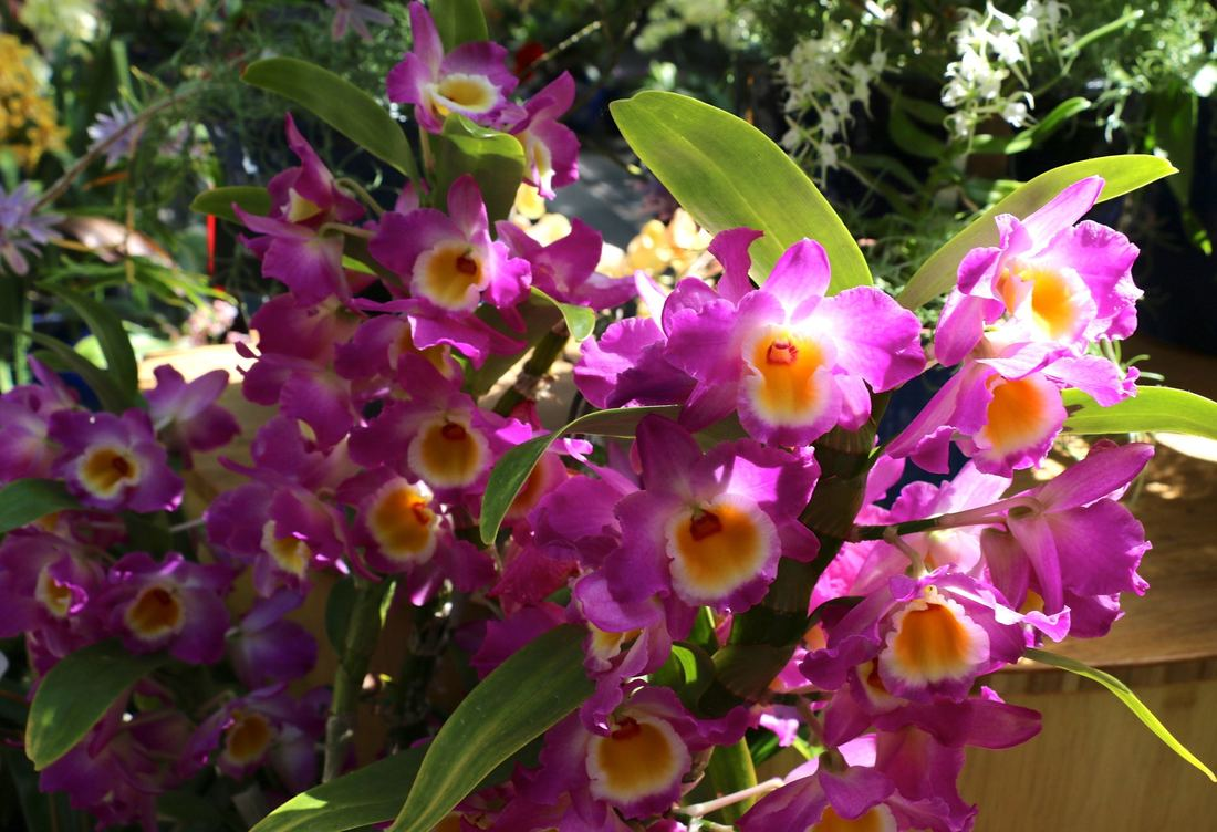 Dendrobium Wave King 'Akebono'