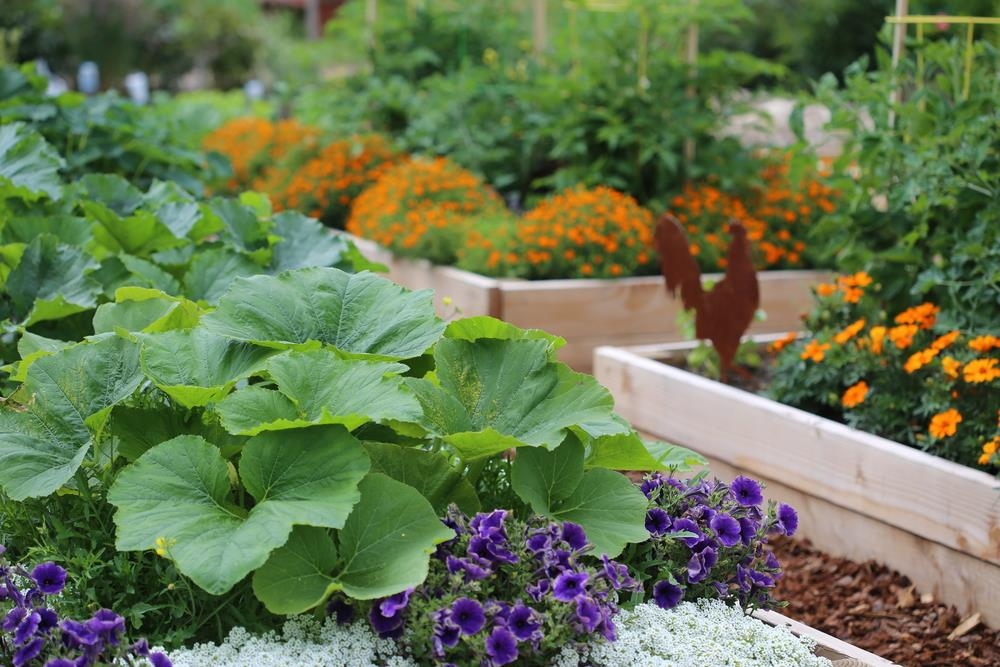 Urban gardening in raised beds using both flowers and vegetables