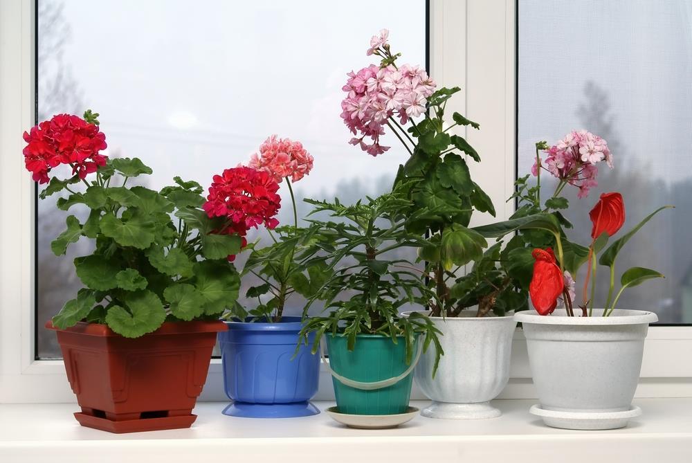 Geraniums in multi-colored plastic pots.