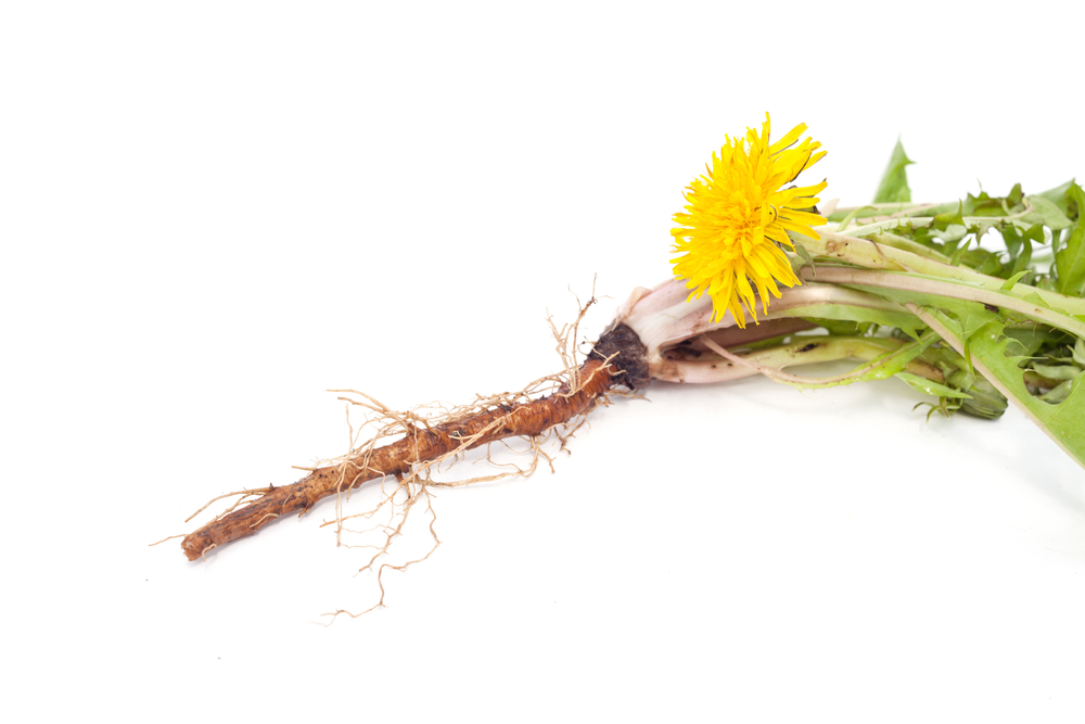 Exposed dandelion taproot
