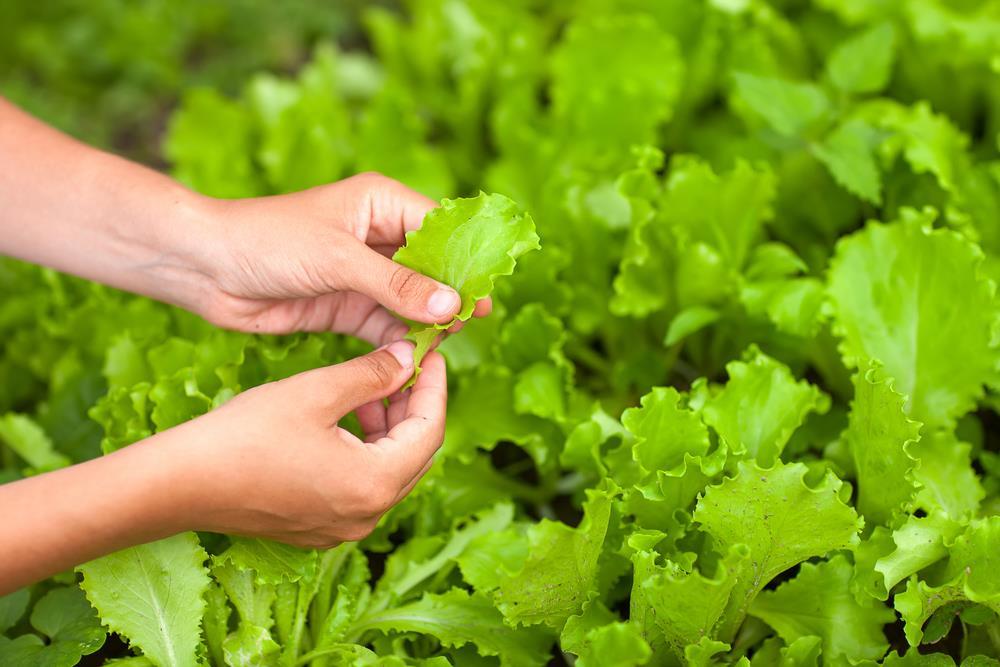 Plucking lettuce in a field