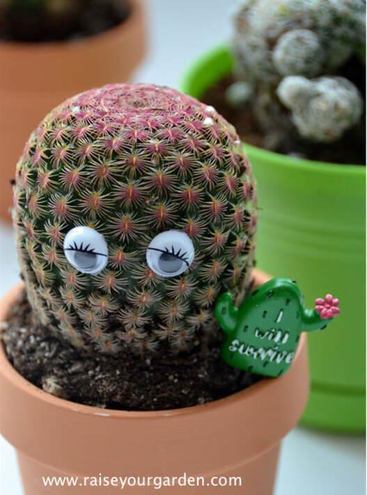 """Echinocereus rigidissimus rubrispinus """"Rainbow Hedgehog Cactus"""""""