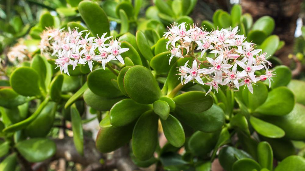 Jade plant (succulent)