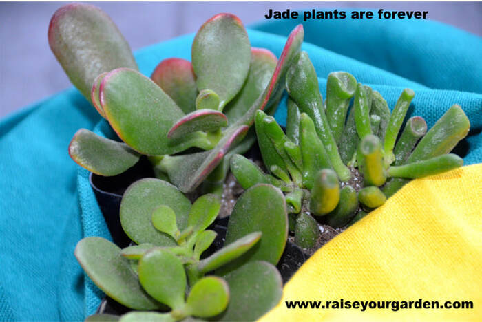 Trio of Jade plants