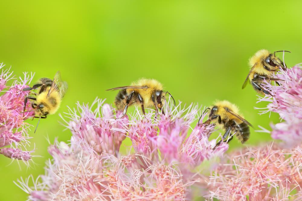 bees enjoying Joe Pye Weed