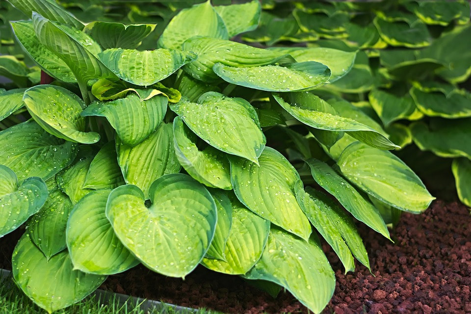 The dos and don'ts of plant division – divide & conquer your perennials now!