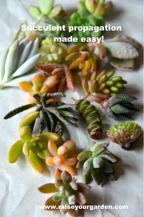 How to propagate succulents from division, offsets & pups, leaves cuttings, beheading & water