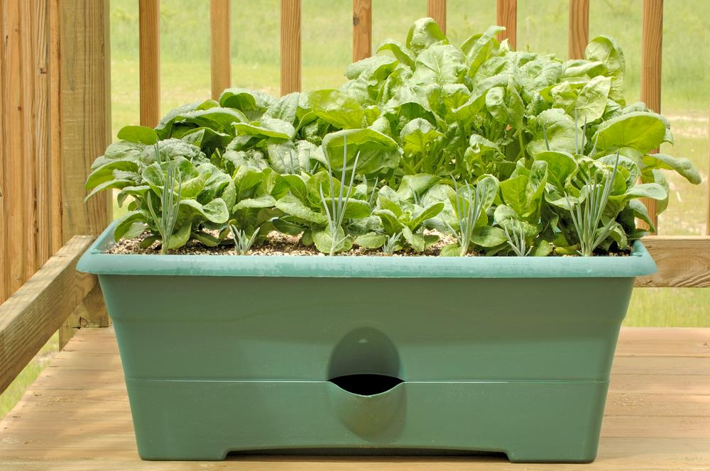 Lettuce & spinach growing in a container on a deck