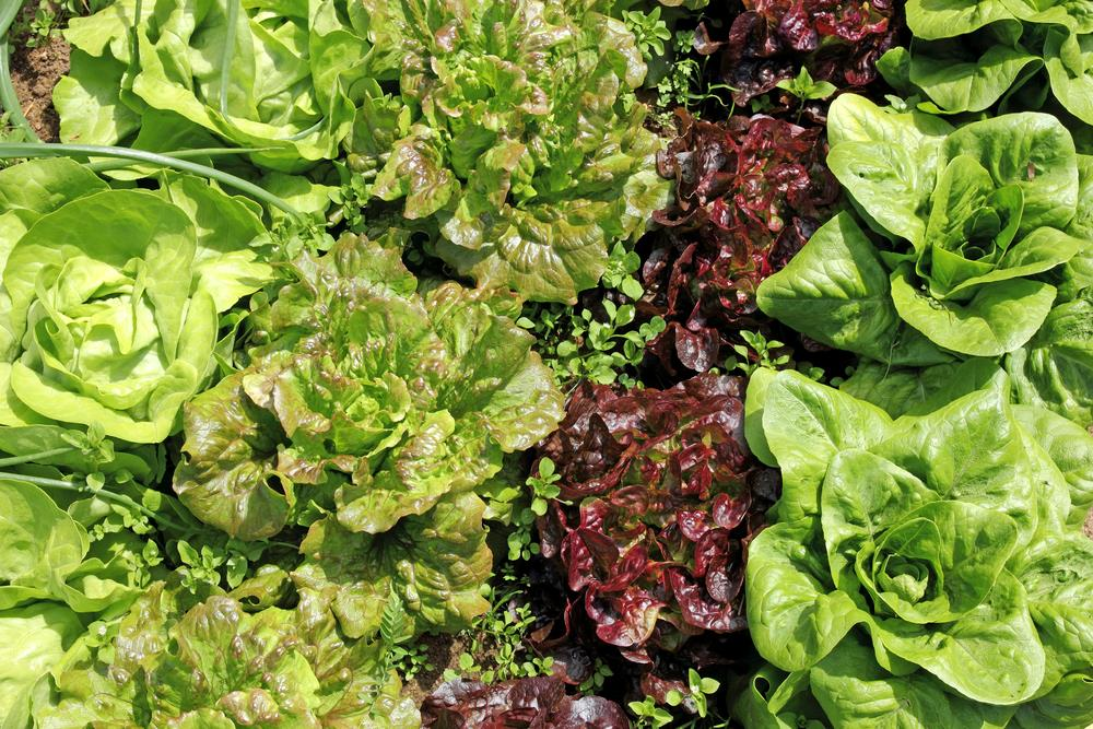 Sowing lettuce & other leafy greens through the seasons by succession gardening