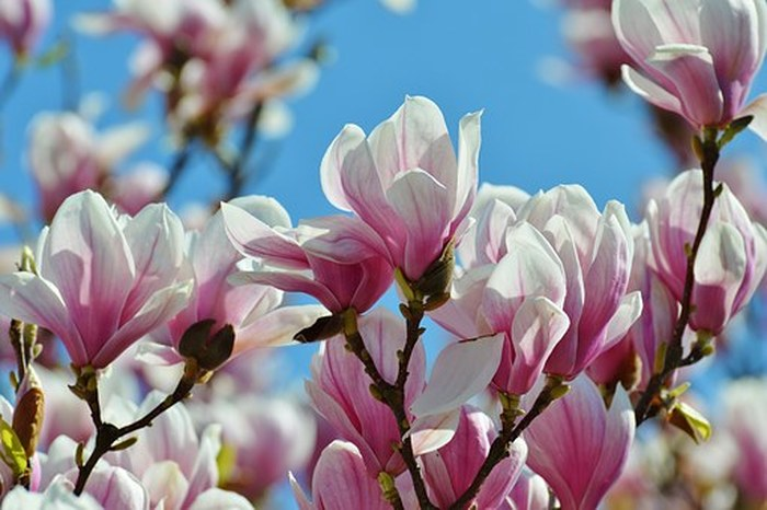 How-to transplant a magnolia bush or tree