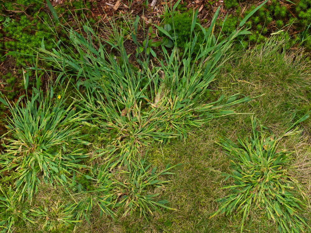 several varieties of crabgrass