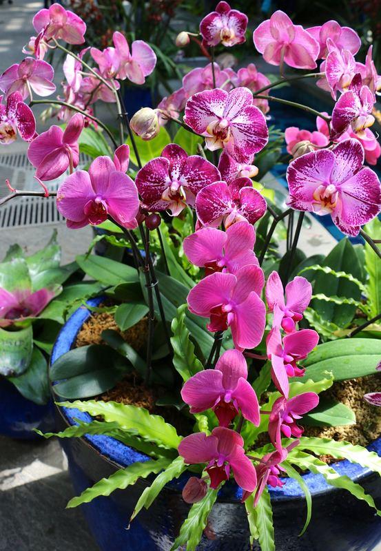 Phalaenopsis or moth orchid