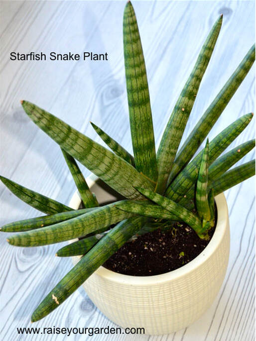 Why the low-light, drought tolerant Starfish Snake Plant is the star of the show!