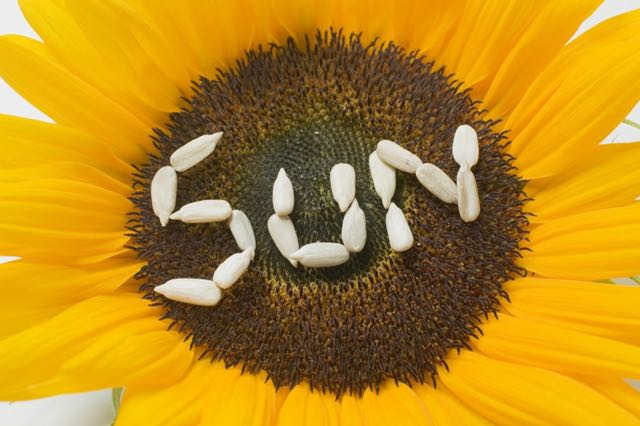 How-to harvest sunflower seeds
