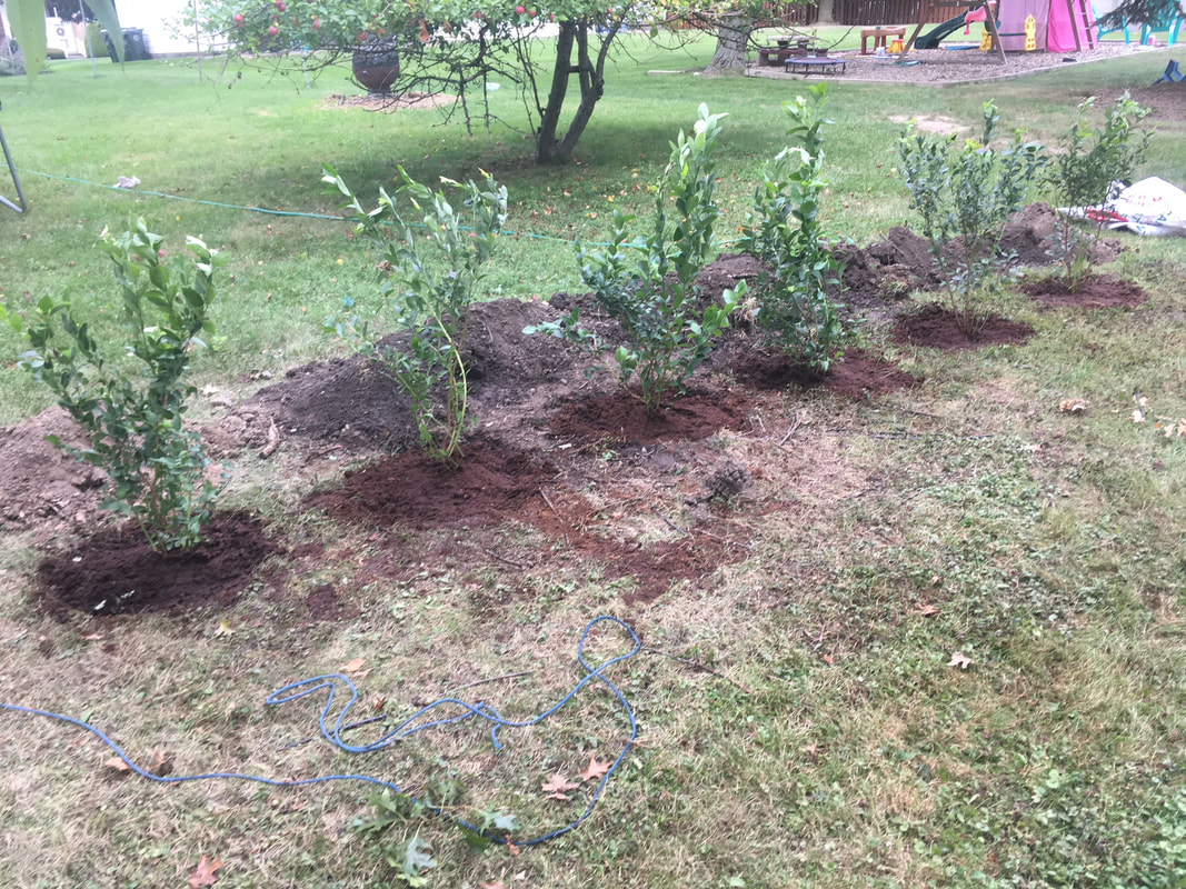 Our little blueberry patch thanks to True Vine Ranch! Picture
