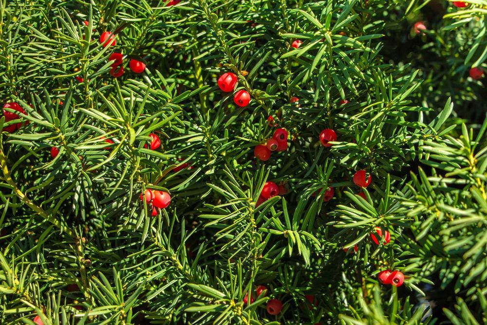 Yews (Taxus): Landscape shrub