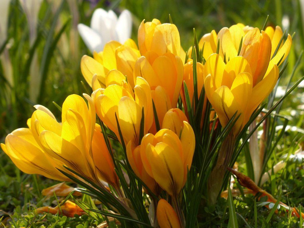 Plant bulbs with the DutchGrown Yellow Crocus