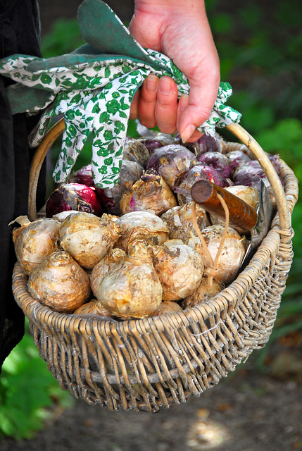 """healthy bulbs ready to be """"forced"""""""