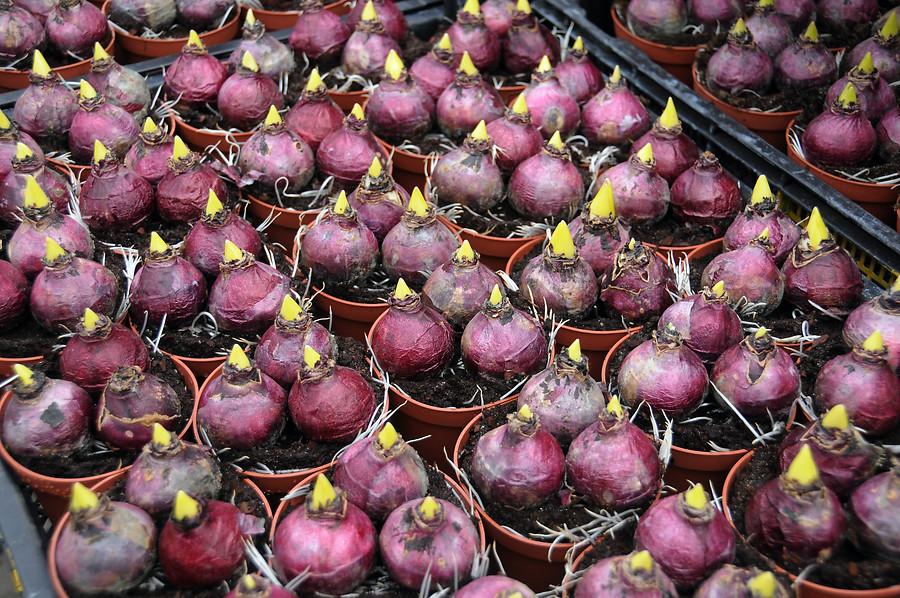 forcing hyacinth bulbs