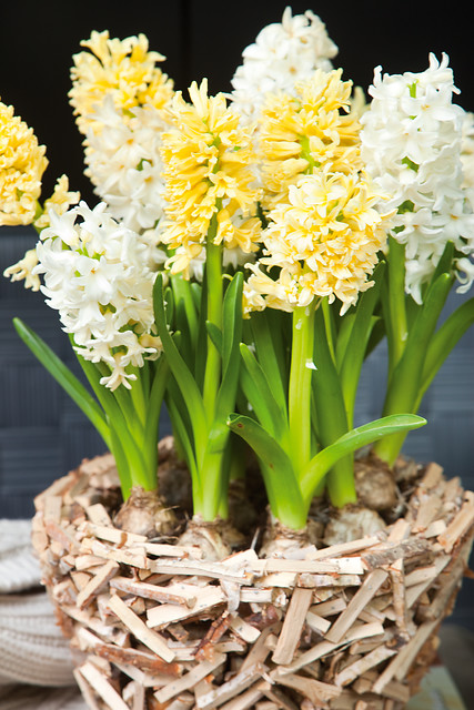 forcing yellow and white hyacinths