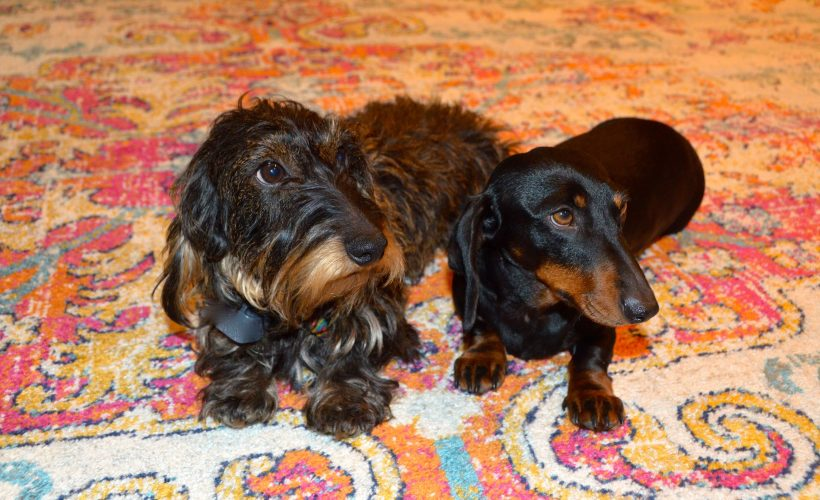 Two Dachshunds on area rug