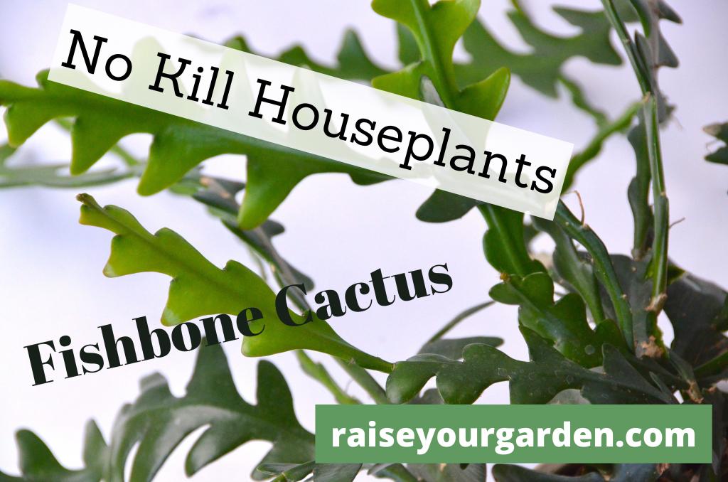 No kill fishbone cactus