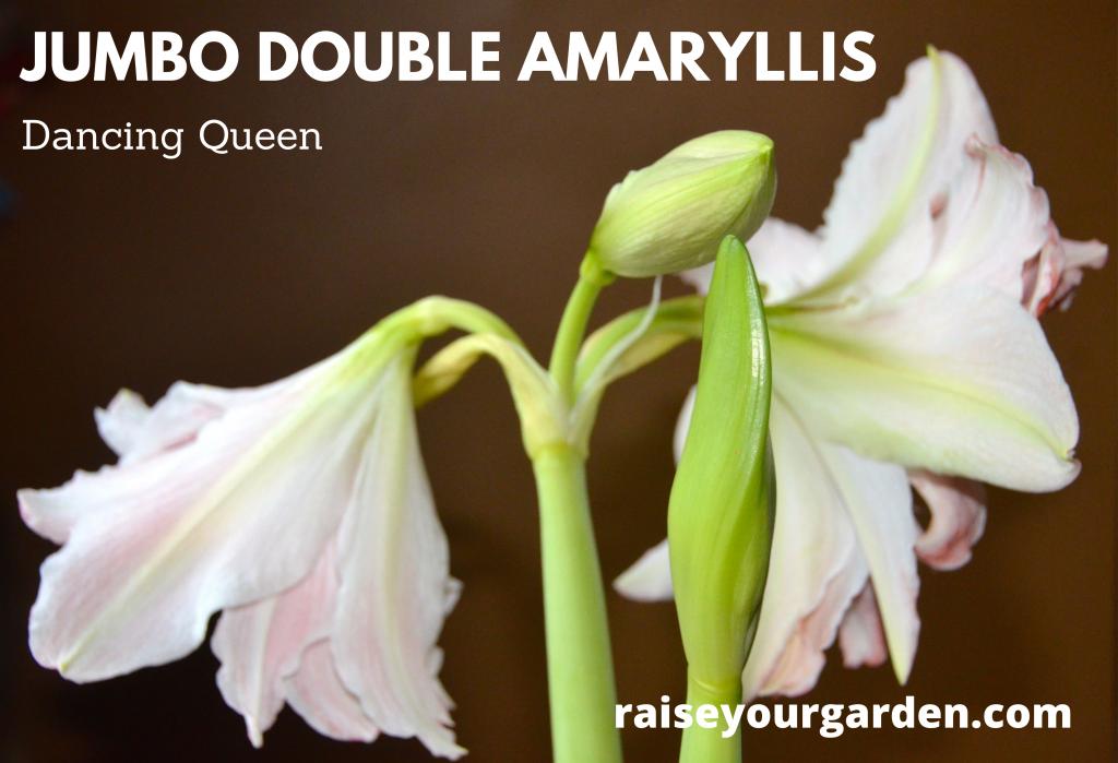 Jumbo double amaryllis 'dancing queen'