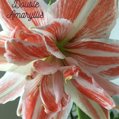 Forcing Amaryllis bulbs for winter blooms with DutchGrown bulb giveaway! 3 winners!