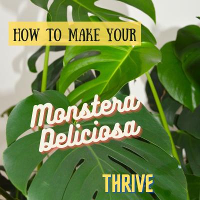 The huge Monstera deliciosa (Mexican breadfruit) plant