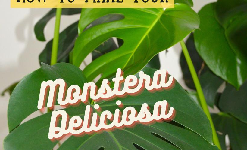 huge Monstera deliciosa plant