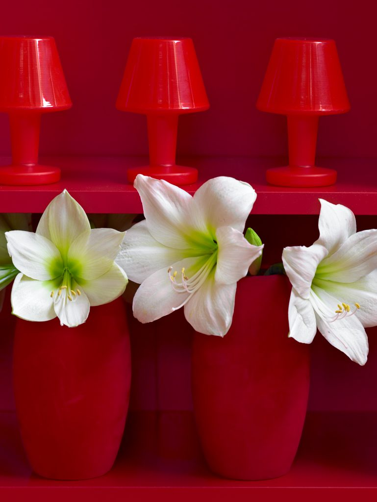 forcing amaryllis bulbs with the Jumbo amaryllis Christmas gift