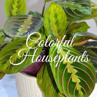 Caring for the easy Red Prayer Plant