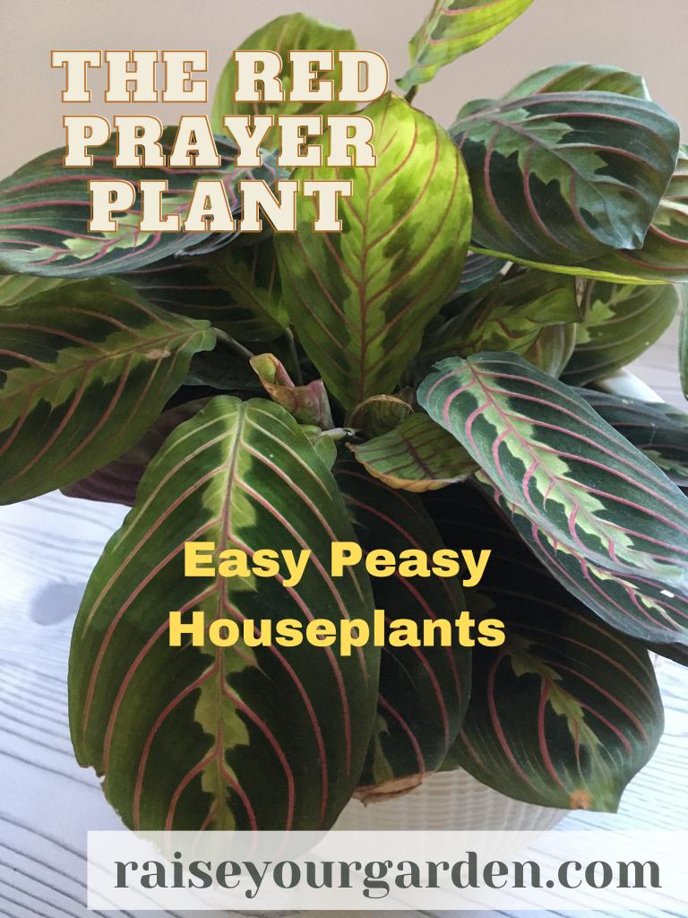 red prayer plant