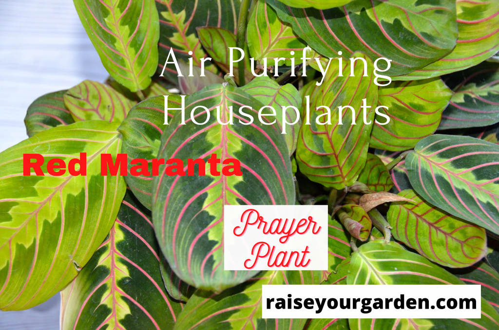 red maranta prayer plant