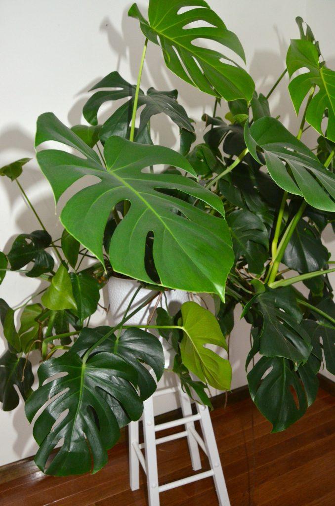 The huge Monstera Deliciosa plant