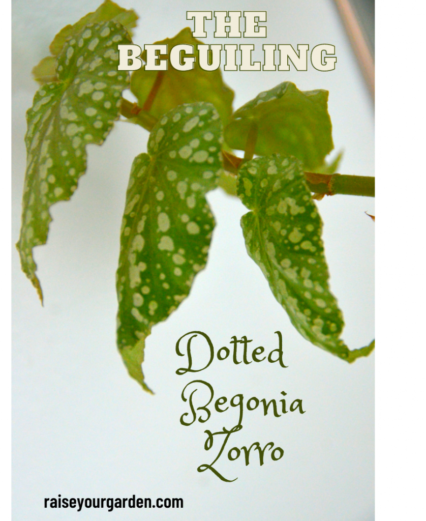 Begonia zorro
