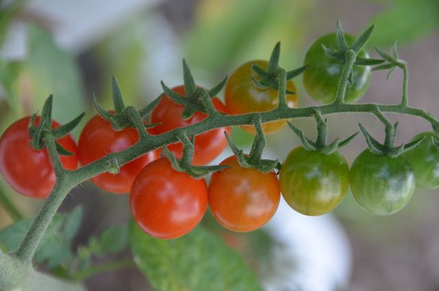 Sweetest and best tasting cherry tomatoes