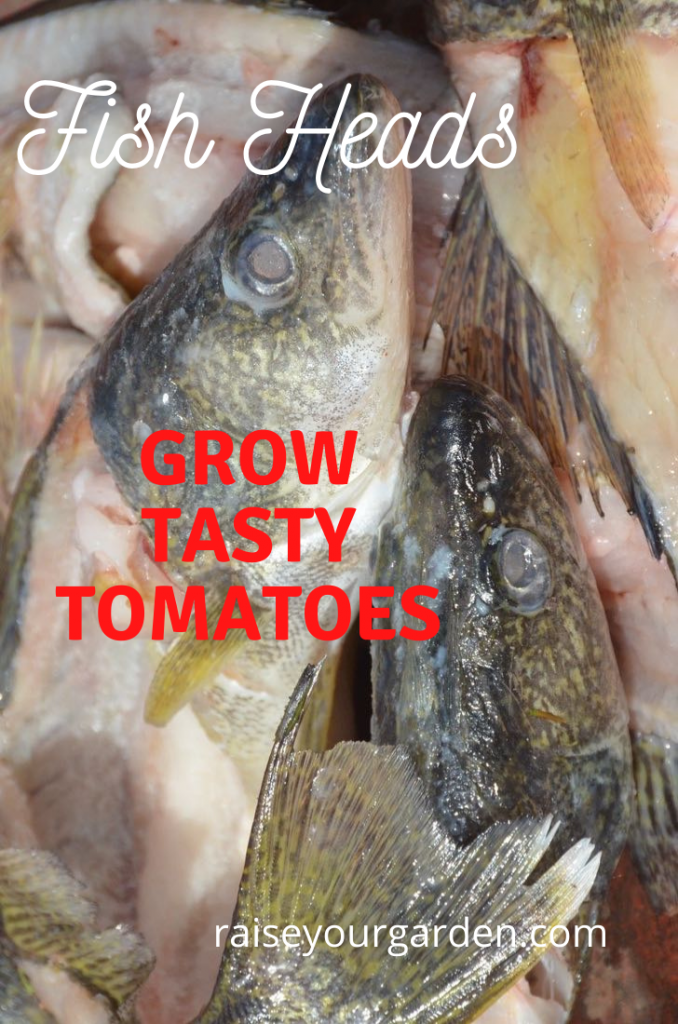 Use fish heads to grow tastier tomatoes