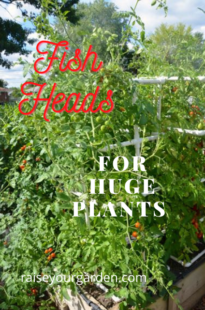use fish heads to grow huge plants that produce sweet and tasty cherry tomatoes