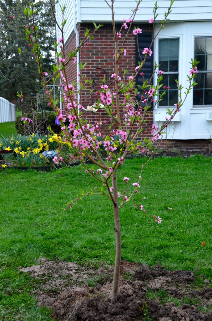 Planted peach tree
